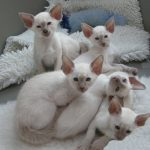 Lilac Point Siamese Kittens