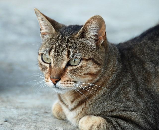 Feline Leukemia