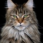 Green-eyed Maine Coon