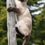 Siamese Cat on a Post