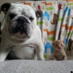 Hammie the Bulldog and Kitten