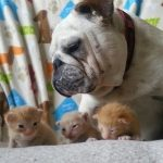 Looking After His Brood