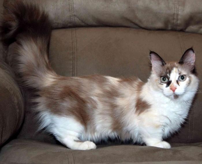 Long-Haired Munchkin Cat