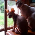 Sphynx Cats in the Window