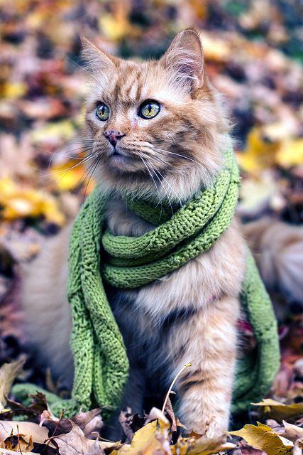 Cat in scarf