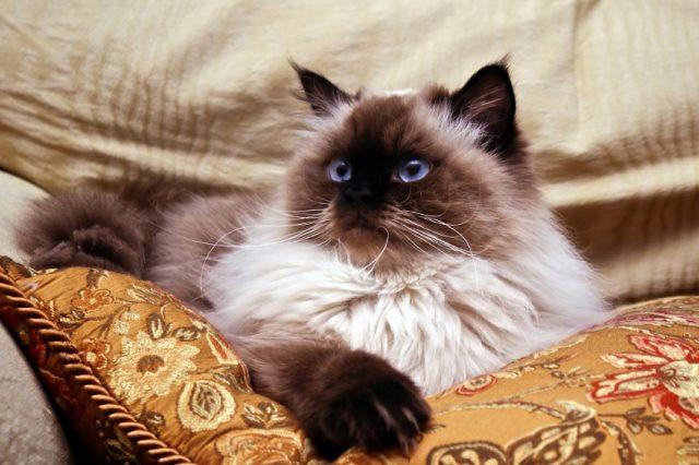 Himalayan Cat on a pillow
