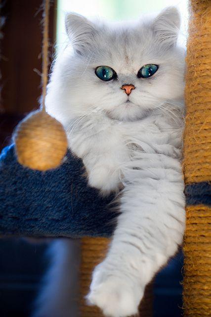 Beautiful white cat