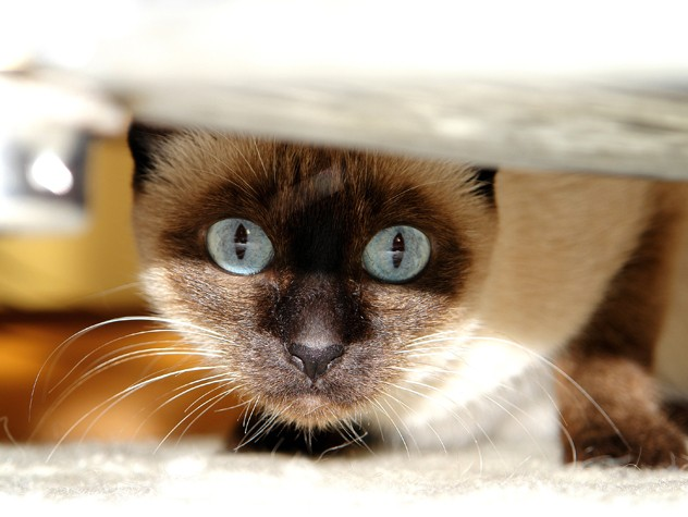 Siamese Cat hiding under the bed
