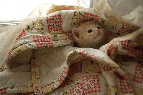 Kitten in blanket