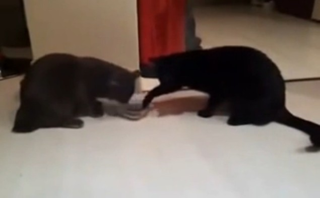Two Black Cats Sharing Food