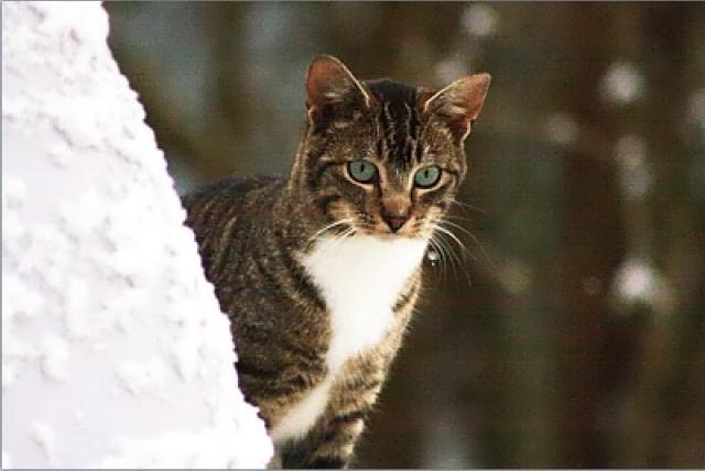 Feral Cat in Winter